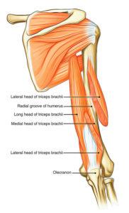 Long head of triceps
